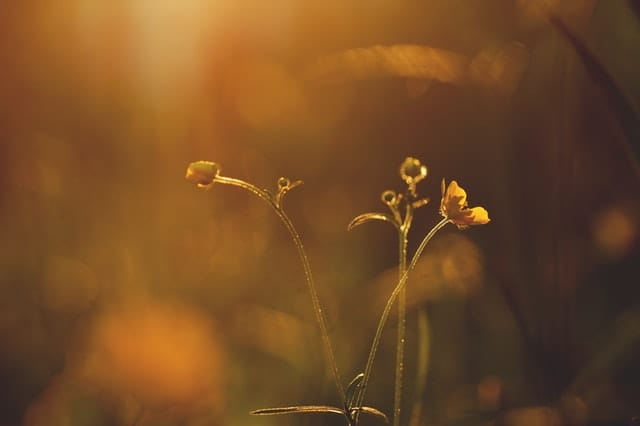 Image of flowers in golden light, showing sense of calmness